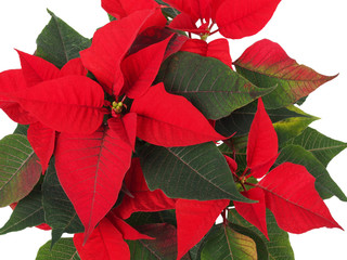 Christmas Star Flower, Poinsettia
