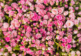 Abstract background of roses.
