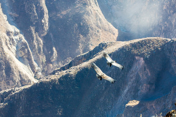 Condor at Colca canyon sitting,Peru,South America