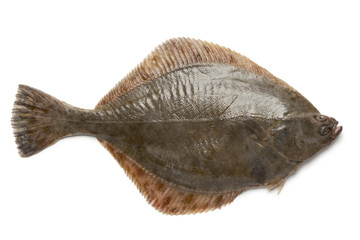 Whole single fresh  European flounder