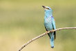 European Roller (Coracias garrulus) perched on a twig