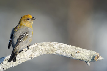 Grosbeak sitting on a branch.