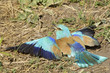 European Roller (Coracias garrulus) taking a sandbath