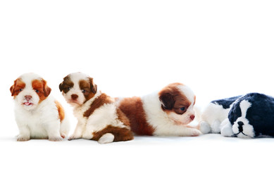four of shih tzu puppies dog lying with relaxing on white backgr