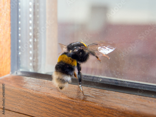 Bumblebee wants to fly through the window