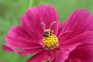 Bee in flower bee amazing,honeybee pollinated of red flower