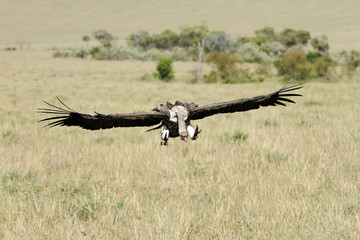 Vast Savanna grassland & landing  African White-backed Vulture