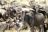 A herd of wildebeests