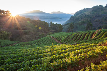 Morning sunrise in strawberry field at doi angkhang mountain, ch