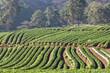 strawberry field at doi angkhang mountain, chiangmai : thailand