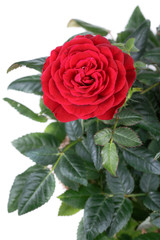 Rose red flowers
