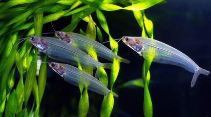 flock of glass catfish