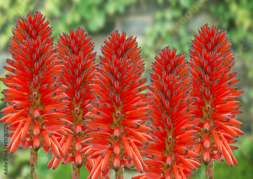 flowers of the aloe vera plant