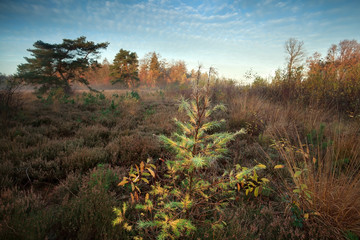 spruce tree on marsh in autumn