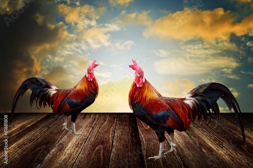 Rooster pet with morning sky background