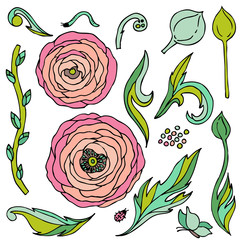 Ranunculus-rose flowers  vector set