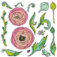 Ranunculus-rose flowers  vector set