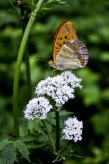 Butterlfy on Valeriana