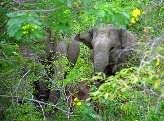 Indian elephants, Yala West National park, Sri Lanka