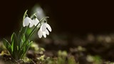 Snowdrop spring dark blurry background