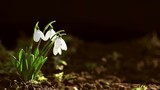 Snowdrop spring dark background