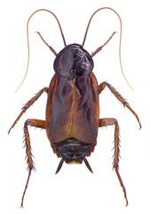 Oriental Cockroach (Blatta orientalis) isolated on white