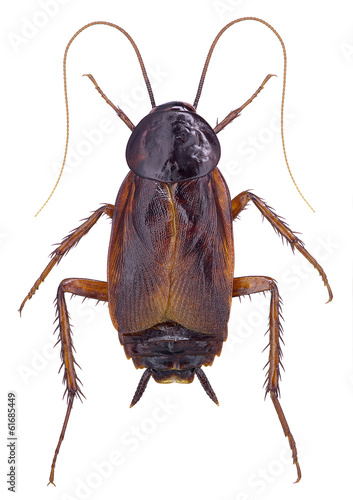 Oriental Cockroach (Blatta orientalis) isolated on white