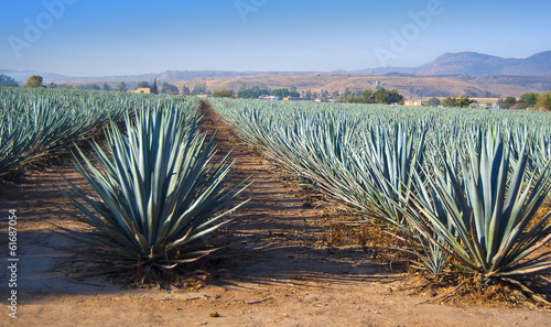 Spoed canvasdoek 2cm dik Cultuur Lanscape tequila guadalajara