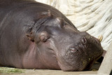 Hippo taking a nap