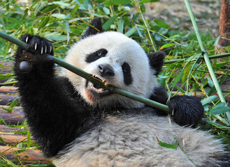 Panda bear biting on bamboo