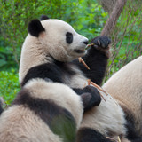 Hungry giant panda eating bamboo together with other pandas