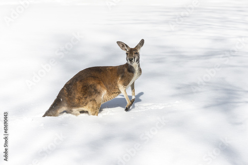 Deurstickers Kangoeroe Kangaroo playing in the snow