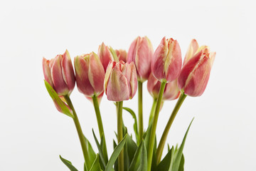 fresh multicolor spring tulip flowers