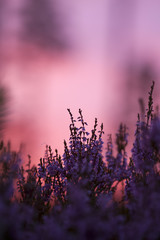 Blooming heather in the setting sun