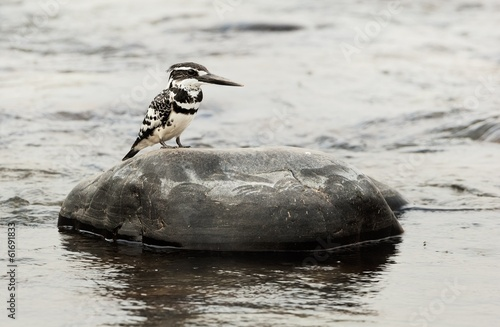 The Pied Kingfisher (Ceryle rudis)  on a stone