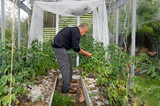 Man grow tomatoes in greenhouse