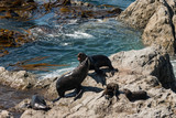 New Zealand Fur Seal colony