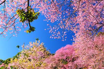Spring Sakura Flowers
