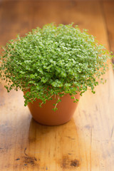 Soleirolia soleirolii or Baby's Tears plant in pot.