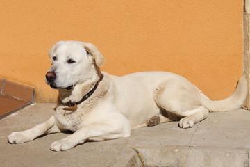 Labrador Retriever, perro tumbado.