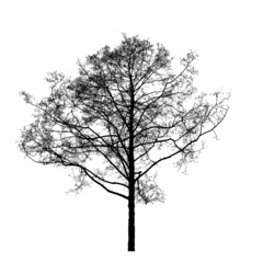Black leafless alder tree photo silhouette on white background