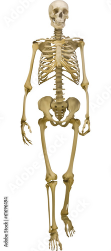 human skeleton illustration isolated on white background