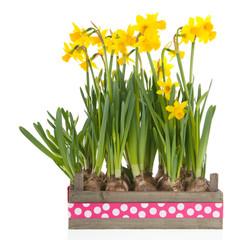 Crate yellow daffodils