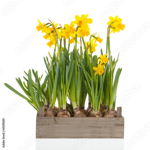 Crate yellow daffodils