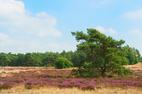 Pine tree in blooming heather field