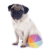 young pug and ball