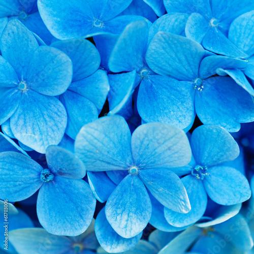 Spoed canvasdoek 2cm dik Hydrangea Hydrangea flowers