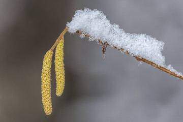 Hazel branch with catkins covered by snow