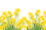 Fototapeta spring growing daffodils