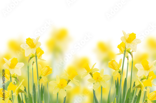 Foto op Canvas Narcis spring growing daffodils